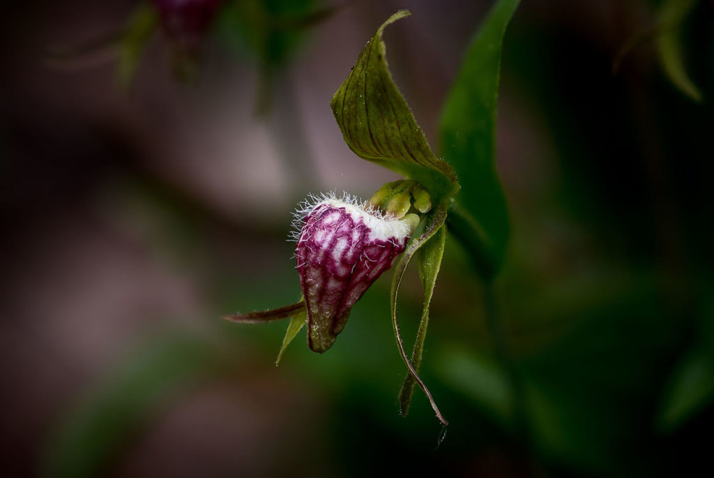An Update on the Ram's Head Lady Slipper: Progress for Species At Risk in NS