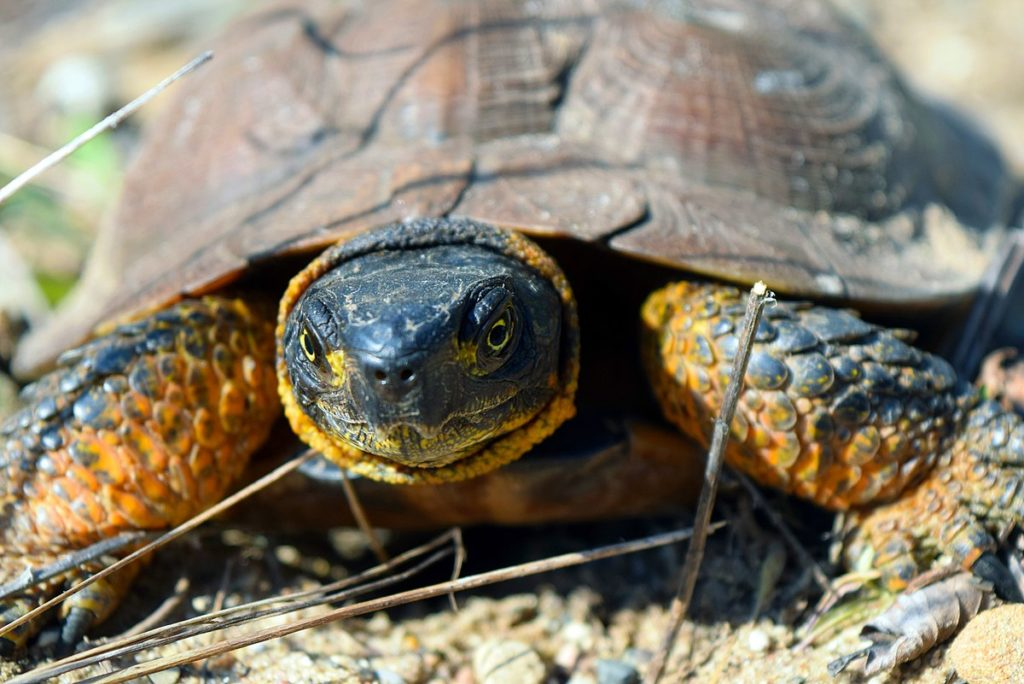 An Update on the Wood Turtle: Progress for Species At Risk in NS